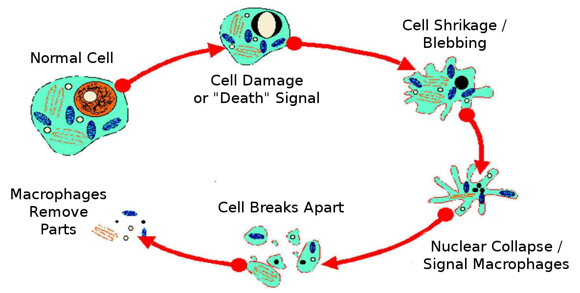 the process of apoptosis essay Medical research - fungi and apoptosis my account preview preview fungi and apoptosis the process of apoptosis essay - introduction as creatures of the light.